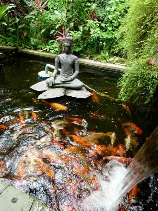 Lots of koi fish plus a super sized one which must be about 1.5m long.