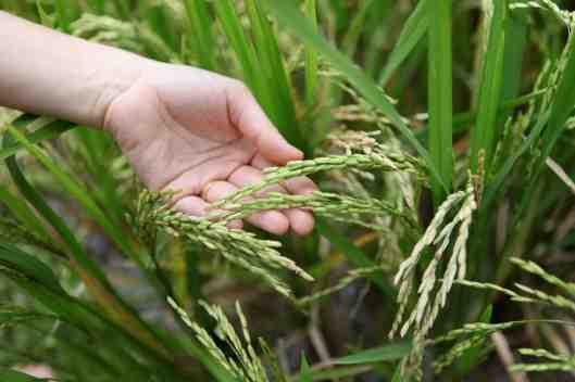Rice, precious rice